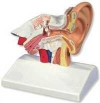 Ear Anatomical Model