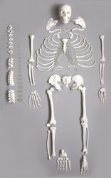 Skeletons For Medical Students
