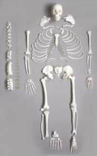 Deluxe Life Size Human Disarticulated Skeleton