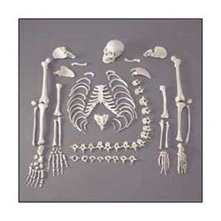 Disarticulated Life Size Skeleton Bone Set