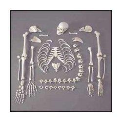 Disarticulated Life Size Skeleton Bone Set