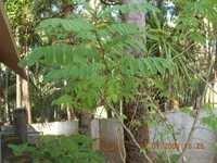 Acacia Catchu