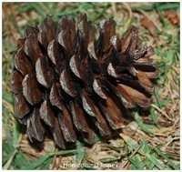 Pinus Khasya