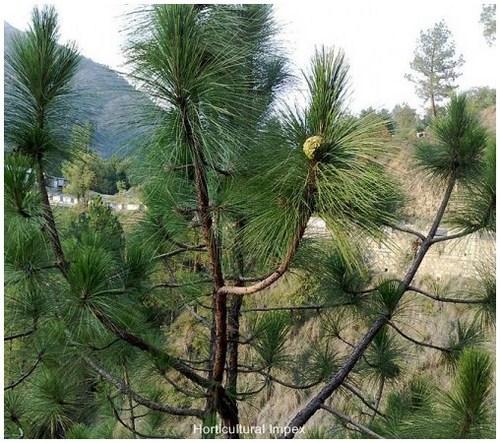 Pinus Roxburghii