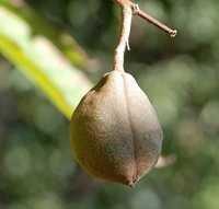 Aesculus indica