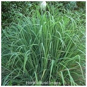Essential Oil Bearing Plants Seeds