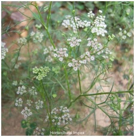 Trachyspermum Roxburghianum