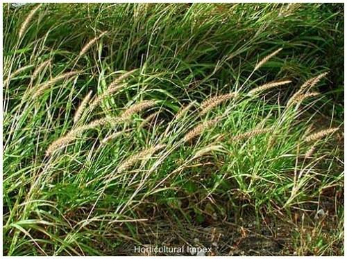 Grass & Fodder Seeds