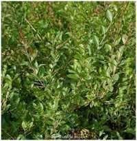 Lawsonia inermis