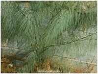 Parkinsonia Aculeata