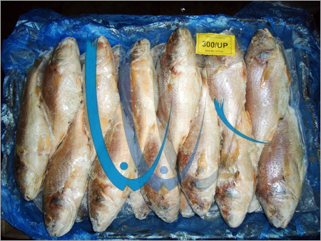 Yellow Croaker Frozen Fish