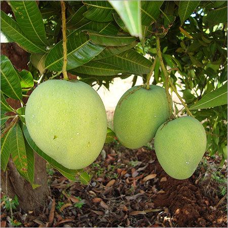 Baneshan Mango