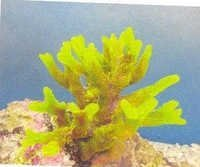 MPS Coral Plant  SH 197 G