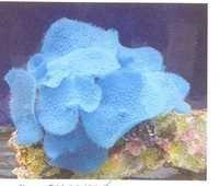 MPS Coral Plant SH 204 M-B