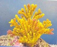 MPS Coral Plant SH_196Y