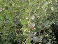 Hardwickia Binata