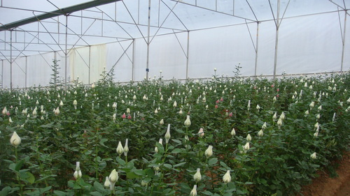 flower growing in greenhouse
