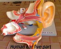 Ear With Internal Parts