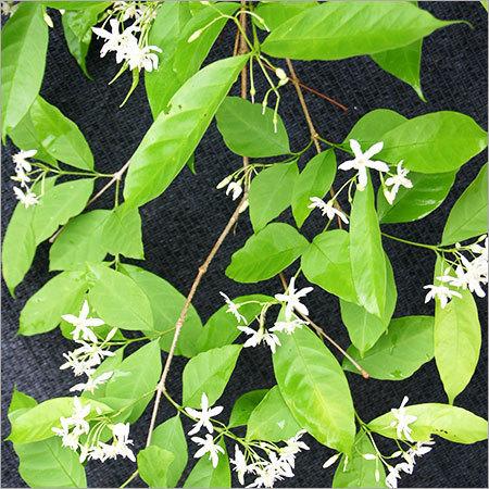 Wrightia Tinctoria Herbs