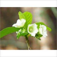 Vallaris Solanacea Herbals