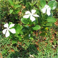 Catharanthus Roseus Herbs