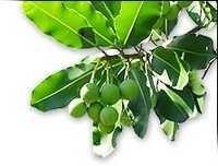 Tamanu Leaves