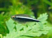 Fish Black Neon Tetra