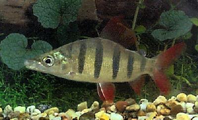 Fish Lemon Tetra