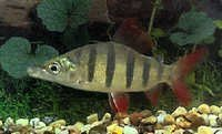 Fish Lemon Tetra