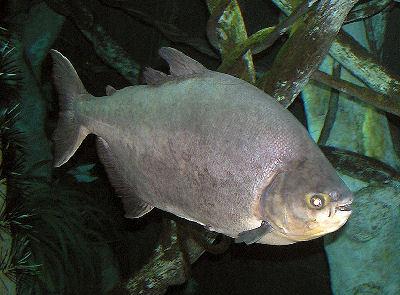 Fish Black Paku
