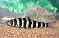 Fish Black-Banded Leporinus