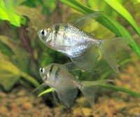 Fish Blackskirt Hifin Tetra