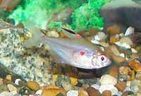 Fish Bleeding Heart Tetra