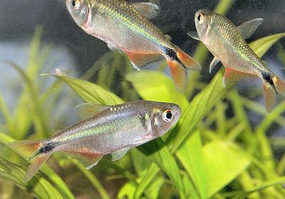 Fish Buenos Aires Tetra