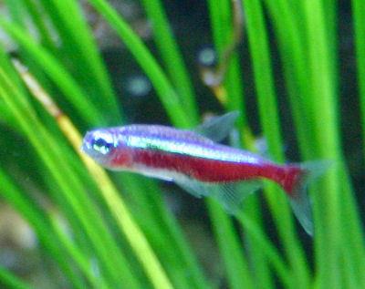 Fish Cardinal Tetra