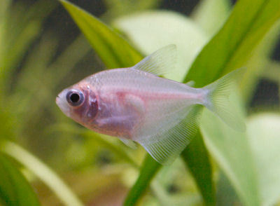 Fish Colored Skirt Tetra