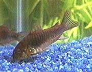 Fish Armored Catfish