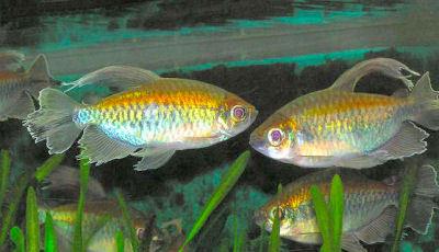 Fish Congo Tetra