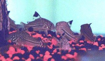 Leopard Catfish