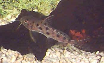 Large-spot Catfish