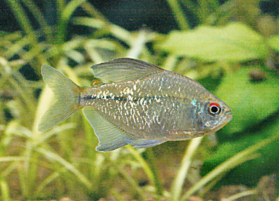 Fish Diamond Tetra