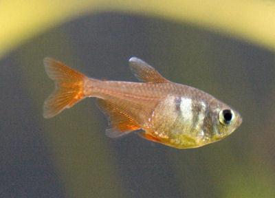 Fish Flame Tetra