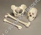 Human Bone Set