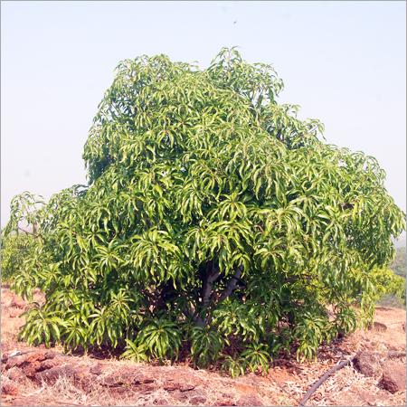 Fruits Tree Plantation