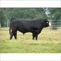 Beef Cattle Grower Feed