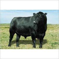 Beef Bull Feed