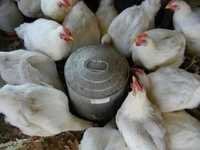Egg Layer Poultry Feed