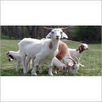Goat Starter Feed
