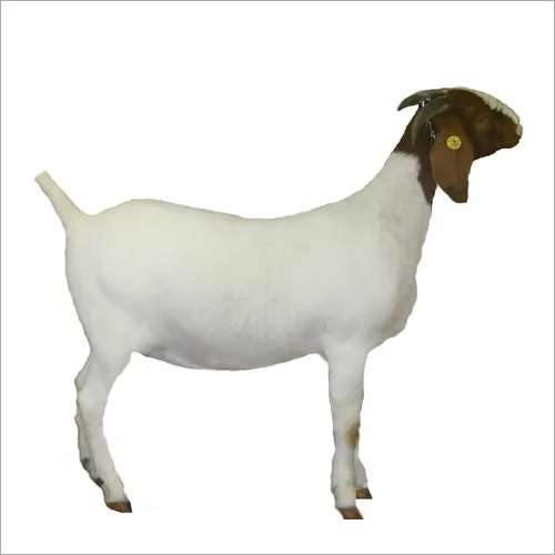 Goat Grower Feed