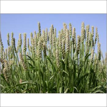 Psyllium seed Plant